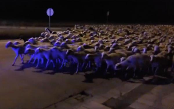 Flock-of-1000-sheep-invade-Spanish-city