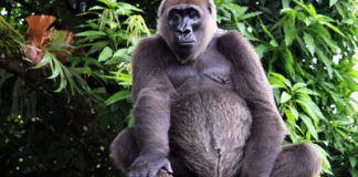 N6.8 million: Kano state zoo has no gorilla - Ganduje
