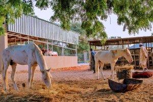 D0ME4QZWoAEqCyy - #Nigeria Decides: President Buhari Takes to Farming