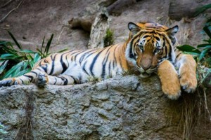 Woman-charged-with-trespassing-after-tiger-bites-her-hand