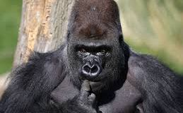 Just like Benue Jamb snake, Gorilla swallows N6.8 million in the Kano Zoo