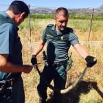 Guardia Civil y Policía Local liberan a una culebra bastarda atrapada en una red de recogida de pelotas de golf en Gandia