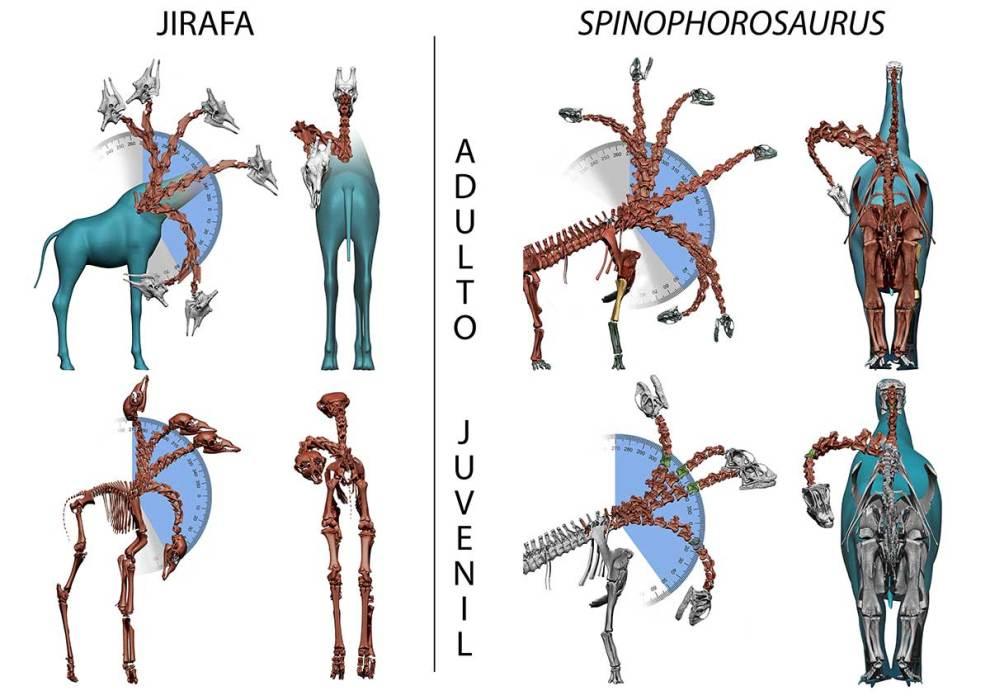 Comparación de los rangos de movimiento posibles de los cuellos virtuales de individuos adultos de jirafas y Spinophorosaurus./MUPE