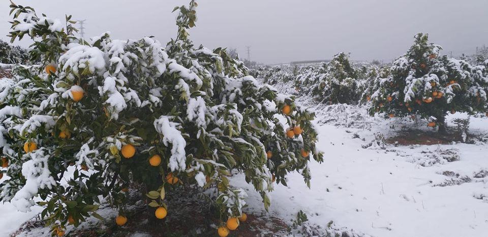 También la nieve ha afectado a cítricos en algunas parcelas de las comarcas de La Marina, La Safor, La Costera y La Ribera/Img. facebook S.Soria