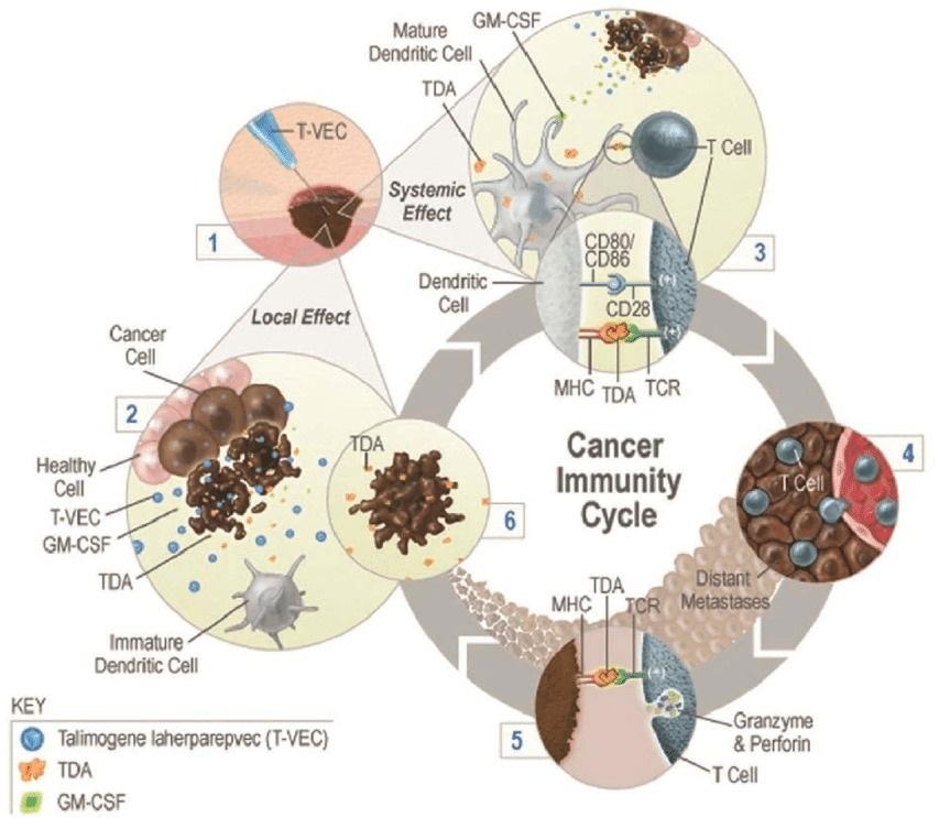 Ensayos con virus oncolíticos que está desarrollando el Instituto de Investigación Sanitaria INCLIVA/Incliva