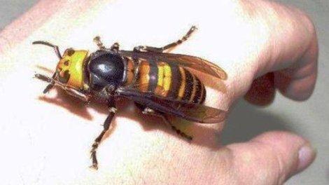 La avispa china o velutina, un peligro para la salud/archivo