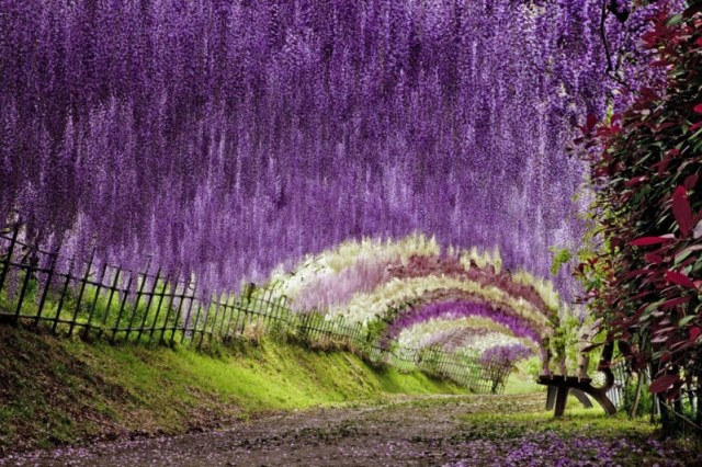 Wisteria Flower Tunnel - Japan