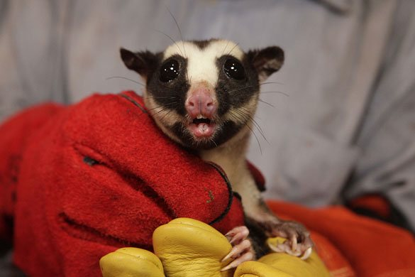 Bosavi Crater Striped Possum