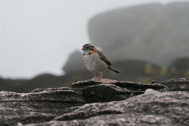 Roraima burung 2