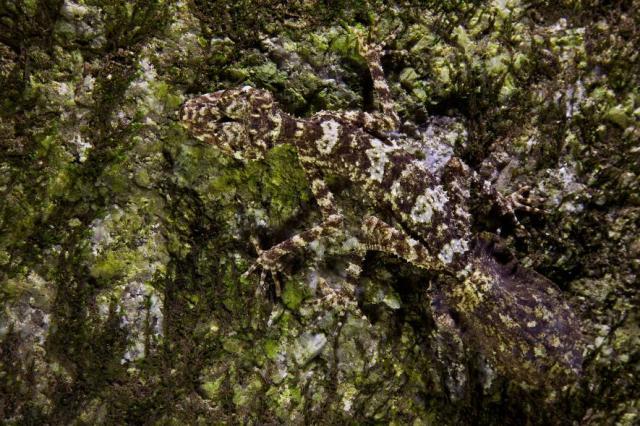 cicak berekor daun di melville