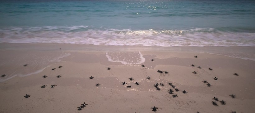 Liberan a más de 12.6 millones de tortugas