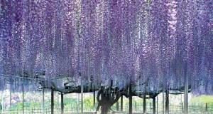 В Японии проведут ежегодный фестиваль цветущей глицинии.
