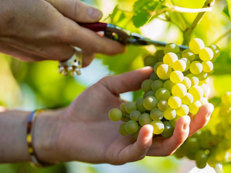 Trauben der Sorte «Solaris» werden in einem Weinberg von einem Rebstock geschnitten. Foto: Uwe Anspach/dpa