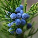 fructe de ienupar