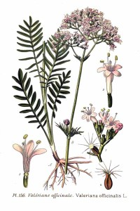 Valeriana_officinalis_L