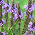 verbena-officinalis-1