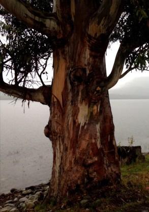 Wet gum tree beside the misty lake in Te Anau