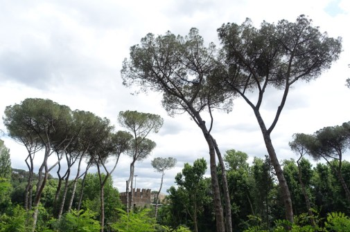 Pine trees in Rome