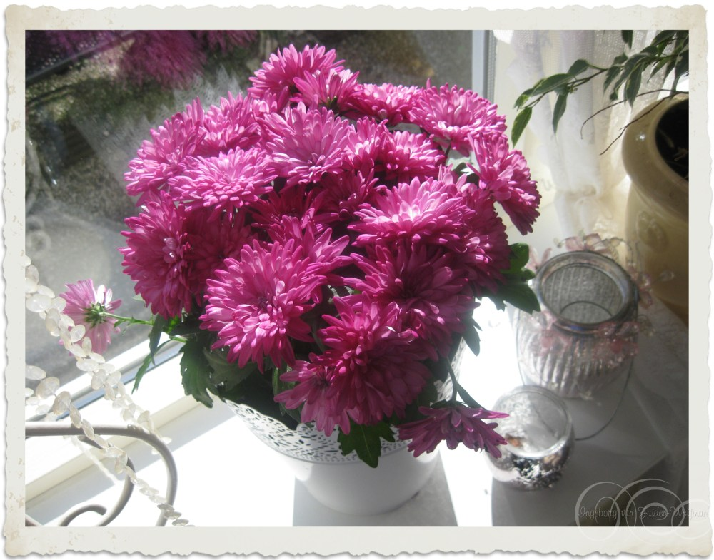 Dark pink Chrysanthemum flowers