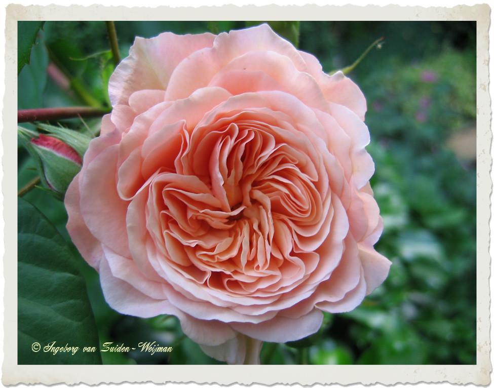 Rosa Leander by Ingeborg van Zuiden