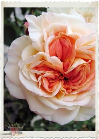Rosa Gloire de Dijon by Ingeborg van Zuiden