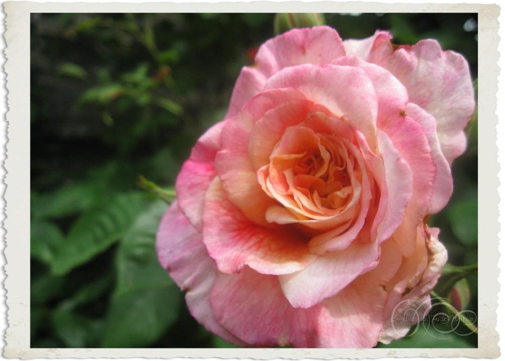 Rosa Aloha Kordes