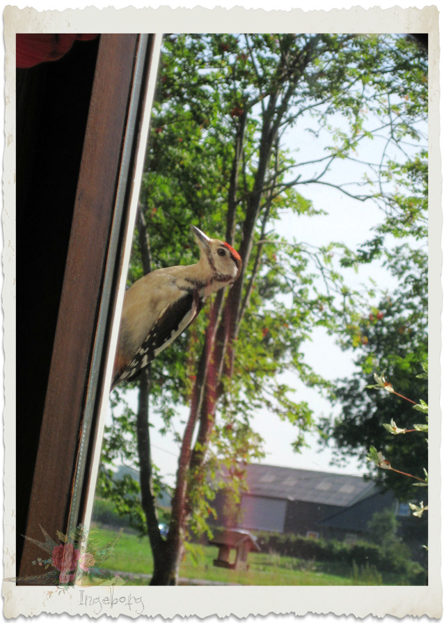 Woodpecker at the window