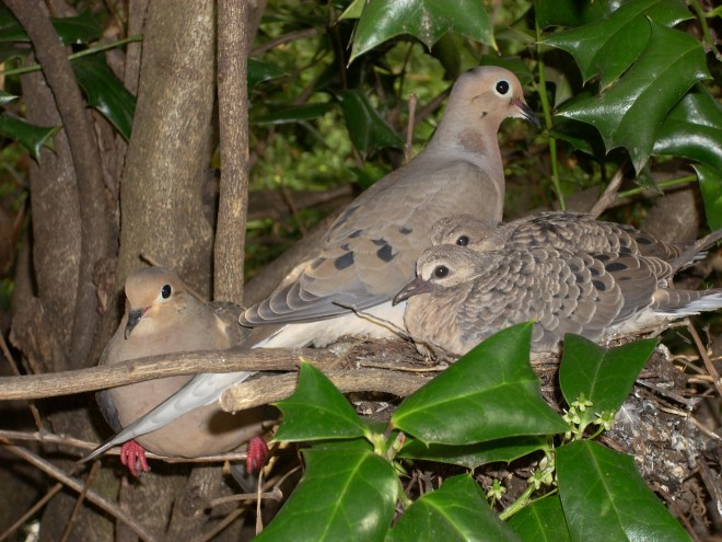 mourning dove family ~ source uncertain