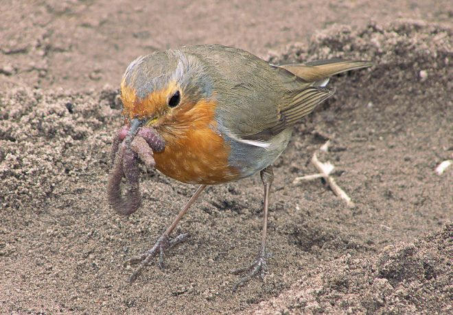 European robin with earthworm, photo by Rasbak