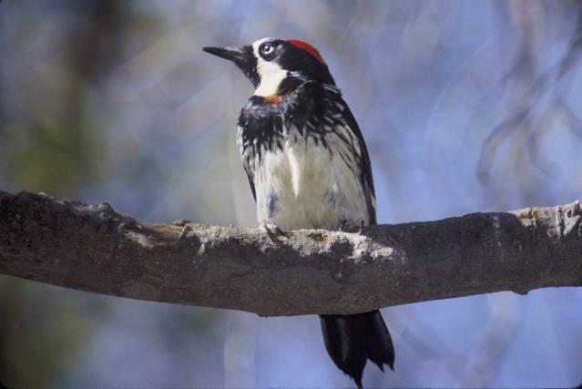 acorn woodpecker by David Brezinski