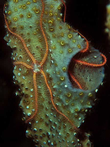 Sponge Brittle Stars off Curaçao by Laszlo Ilyes
