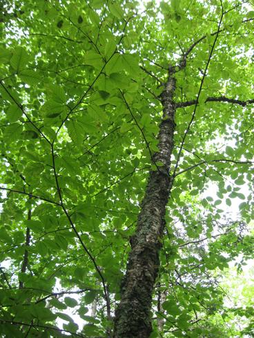 6.26.11 ~ Pachaug State Forest