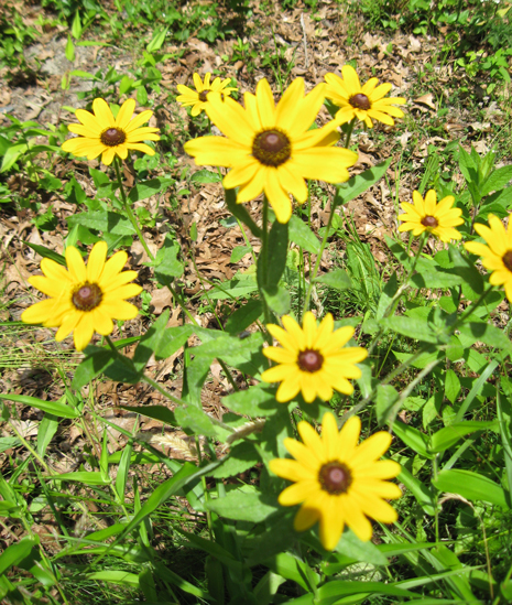black-eyed susans ~ 7.2.10 ~ New London, Connecticut