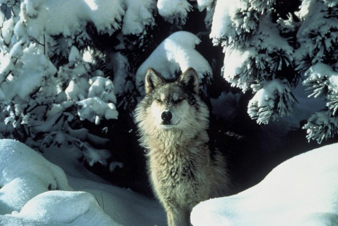 gray wolf photo by Tracy Brooks