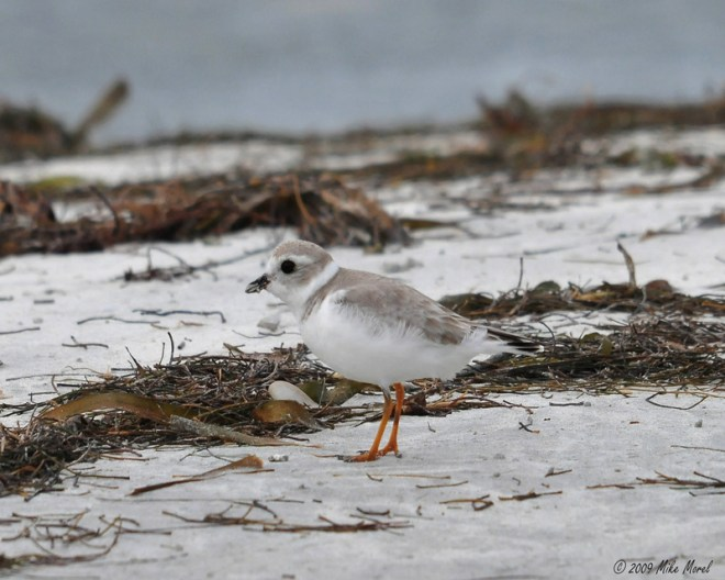 Piping Plover by Mike Morel/USFWS