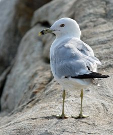 ring-billed gull by Barbara Rodgers