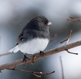 junco-dec06