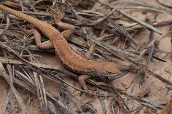 lizard-dunes-800