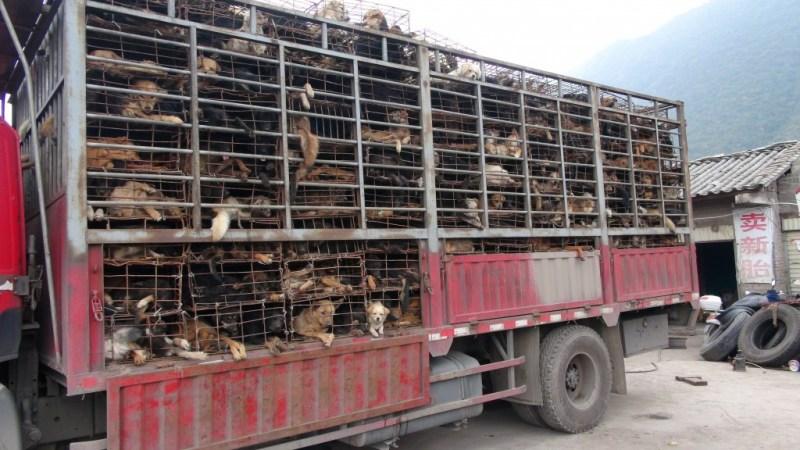 Forfærdeligt syn af hunde på vej til Vietnam, formentlig til fødevare industrien.