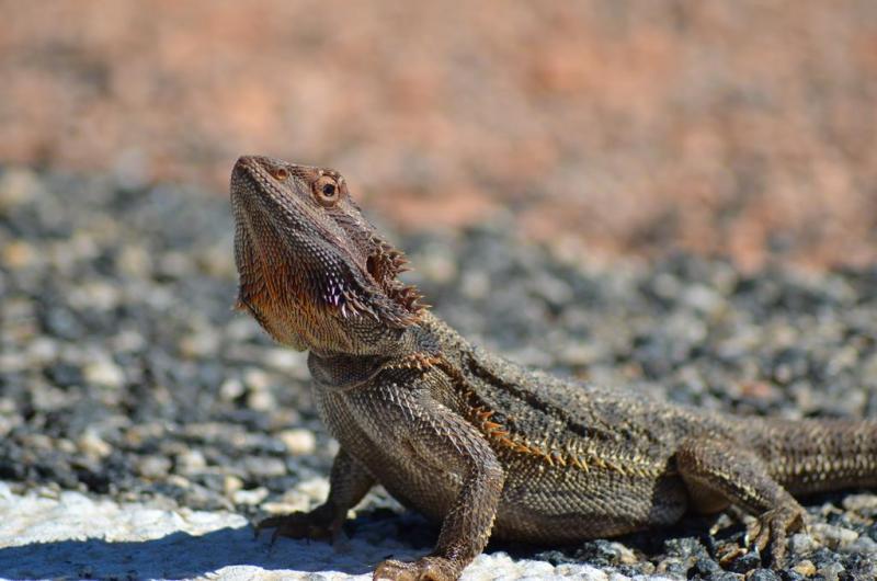 Erik opdagede denne lille fyr, som solbadede på vejen.