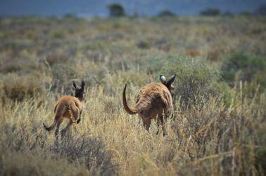 Australien, roos, kænguruer