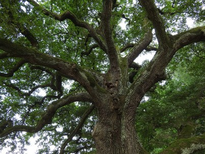 Roble árbol Inglaterra