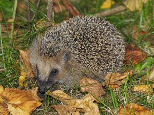 Hedgehog (Erinaceus europaeus). Photo by Jörg Hempel.