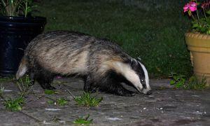 Badger (meles meles). Photo by Chris P.