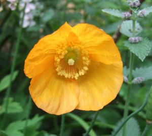 Meconopsis cambrica (orange Welsh poppy)