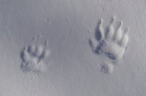 Badger tracks in snow. Photo by James Lindsey.