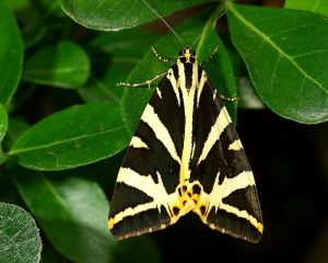 Settled with its fore wings covering its hind wings. Photo by Hamon jp.