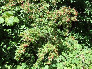 Haws ripening (Crataegus monogyna).