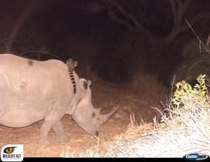 Genet-rhino_6_watermark-1024x789