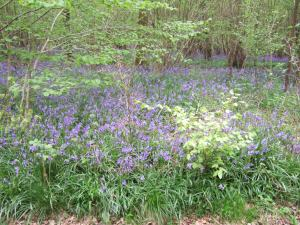 A bluebell wood in Wiltshire, 4 May 2009.